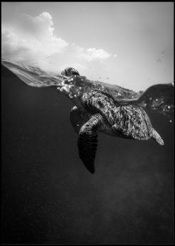 Greyscale Sea Turtle