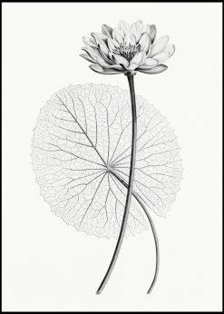 Vintage Illustration of White Egyptian Lotus