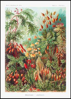 Muscinae-Laubmoose Vintage